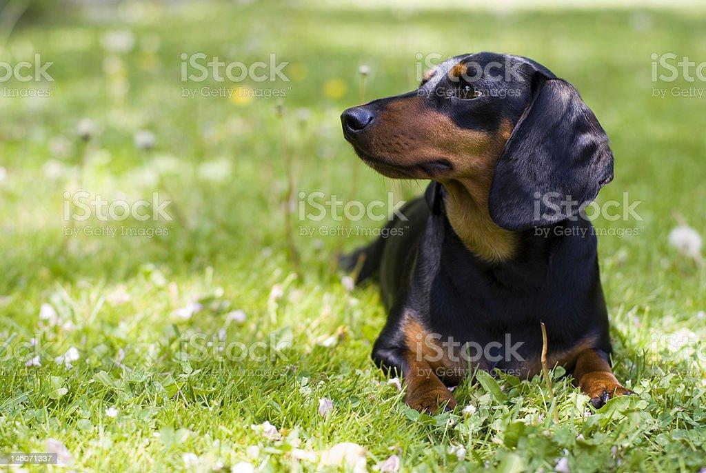 Dachshund Resting stock photo