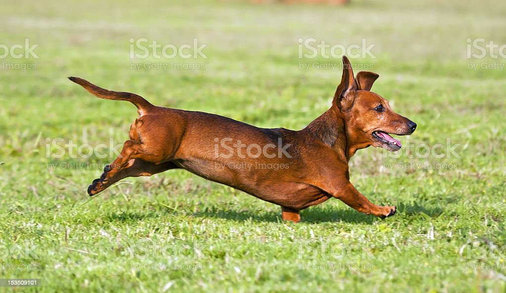 Dachshund running on green gras royalty-free stock photo