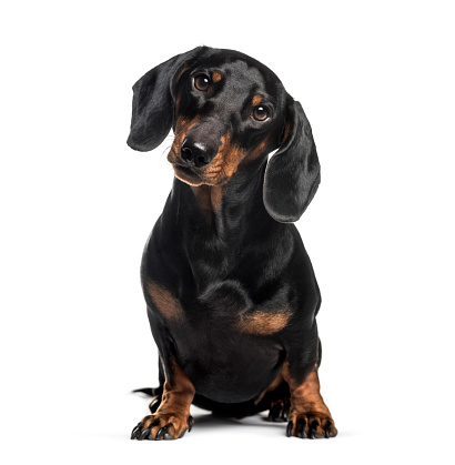 Dachshund, sausage dog, 1 year old, sitting in front of white background