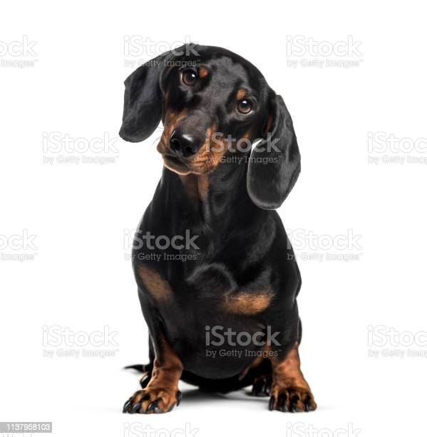 Dachshund sausage dog 1 year old sitting in front of white background picture id1137958103?b=1&k=6&m=1137958103&s=612x612&h=xfpmdjklmh5sto3b9nsqdpaycw1virjtyo3u8wur fm=