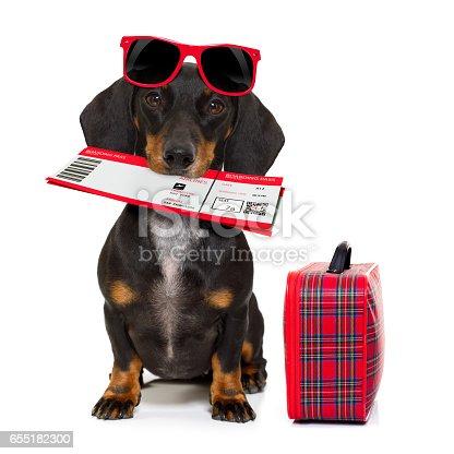 istock dachshund sausage dog on vacation 655182300