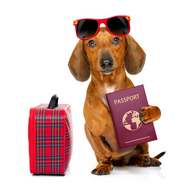 chien saucisse dachshund en vacances - valise humour photos et images de collection