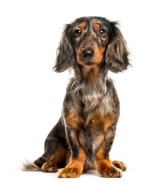 Dachshund sausage dog sitting in front of white background picture id1137963126?b=1&k=6&m=1137963126&s=612x612&w=0&h=kbglqianr fgxtgxmrdun46lfoqcgv9cd0czqaa6dy8=