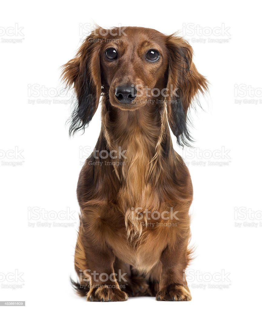 Dachshund sitting and facing, isolated on white stock photo