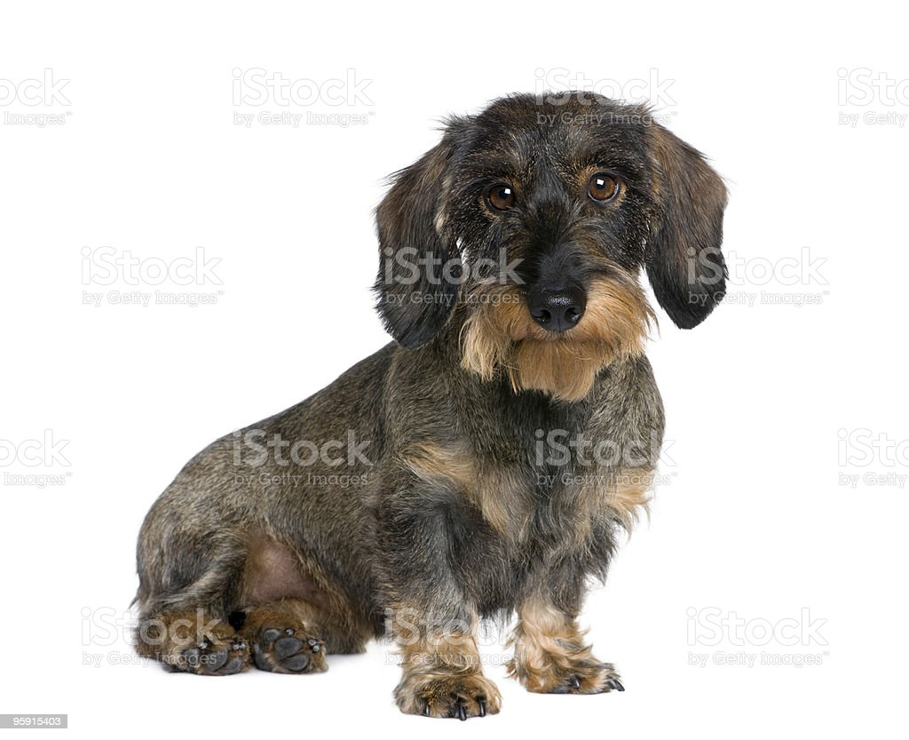 Dachshund sitting in front of white background royalty-free stock photo