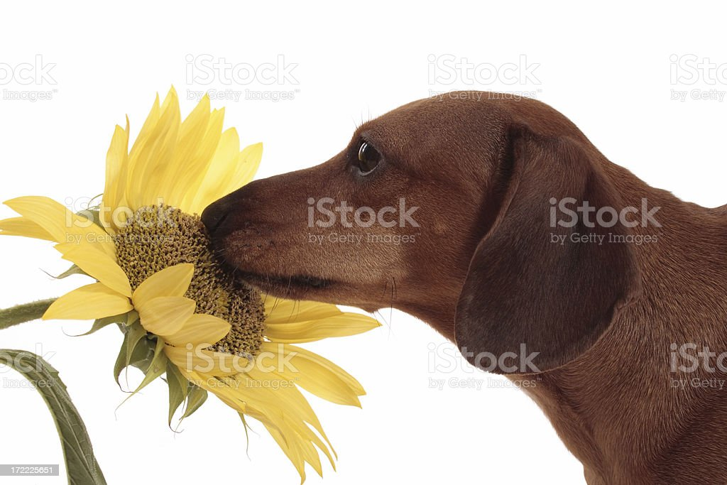 Dachshund Smelling A Sunflower royalty-free stock photo
