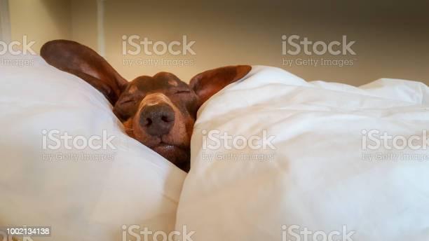 Dachshund snuggled up and asleep in human bed picture id1002134138?b=1&k=6&m=1002134138&s=612x612&h=v7egwycnccrdyvzrdm6is8jcujnym6ihvg fa8c jzs=