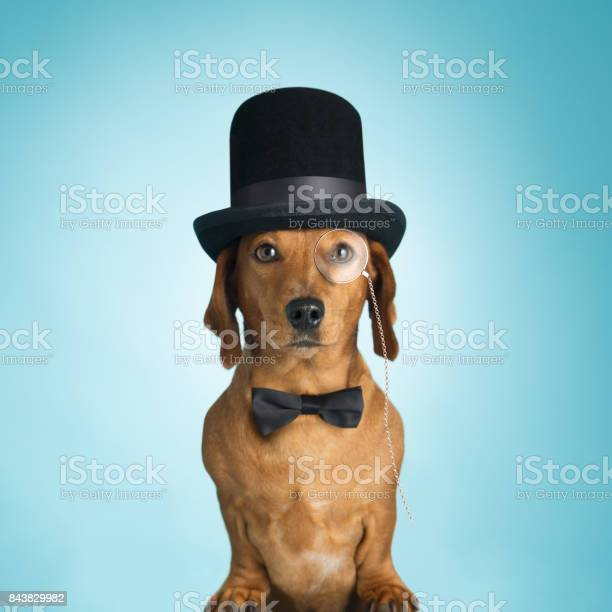 Dachshund wearing top hat and monacle picture id843829982?b=1&k=6&m=843829982&s=612x612&h=9a8brrqttn7lviezzbamjjkbh4ttw4e8pzzl9piamuc=