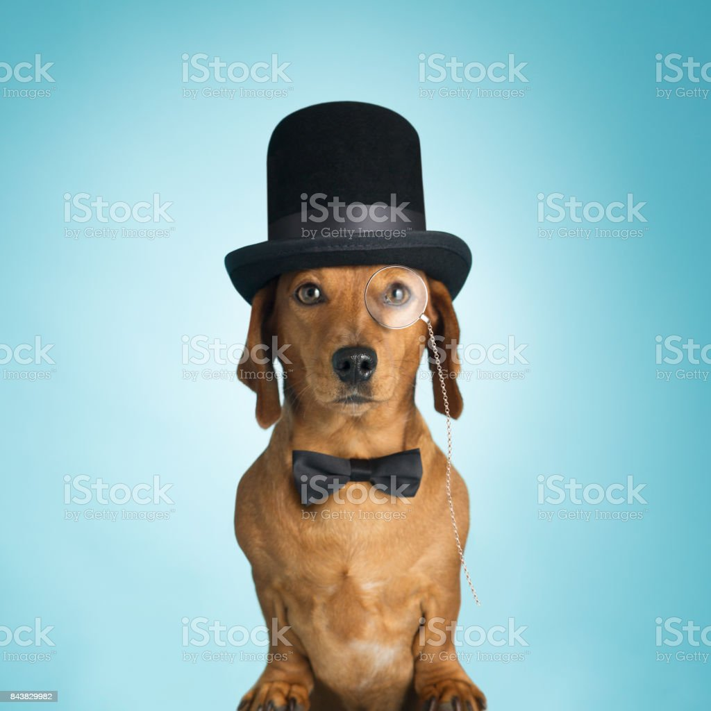 Dachshund wearing top hat and monacle stock photo