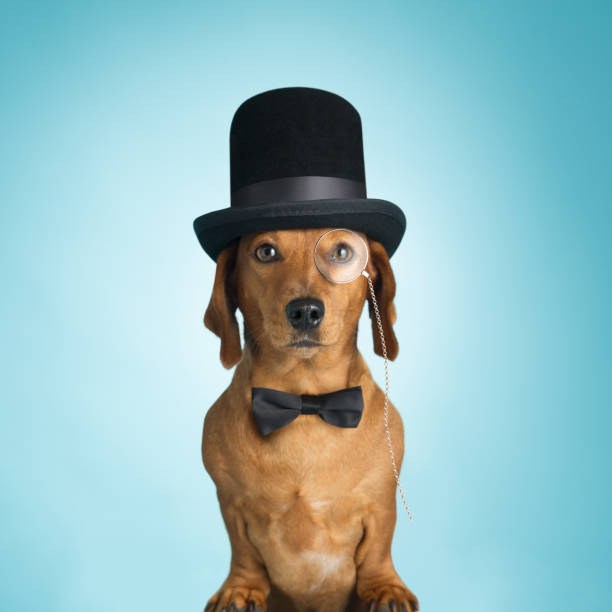 Dachshund wearing top hat and monacle Upper class posh sausage dog upper class stock pictures, royalty-free photos & images