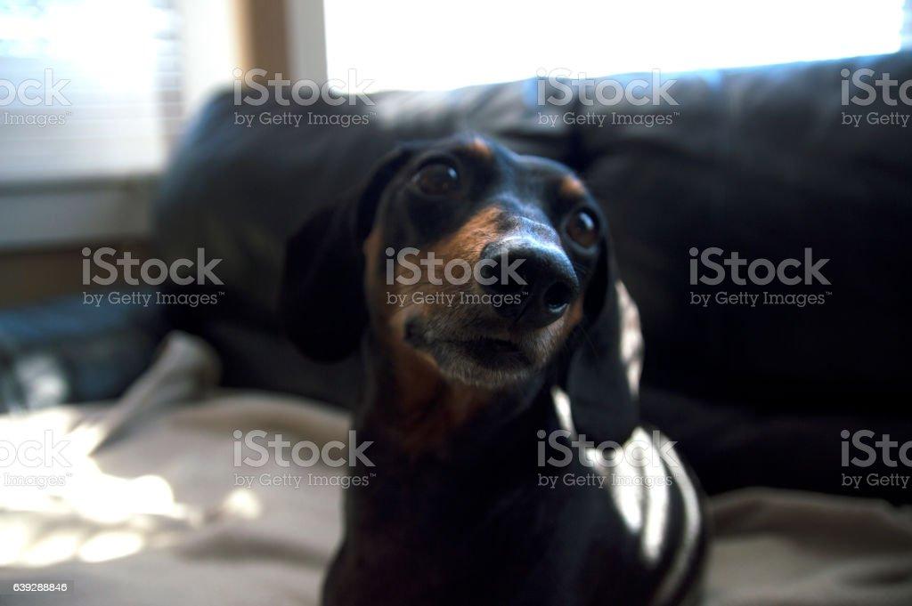 Dachshund weiner dog puppy close up beige blanket abstract bohkeh stock photo