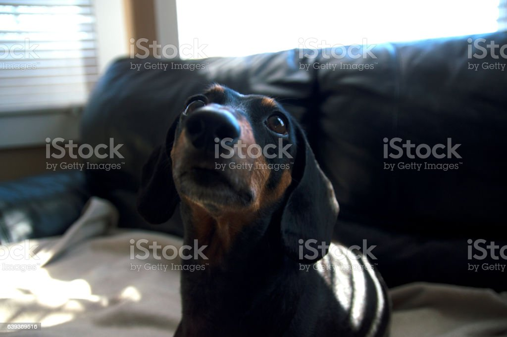 Dachshund weiner dog puppy sitting beige blanket abstract bohkeh stock photo