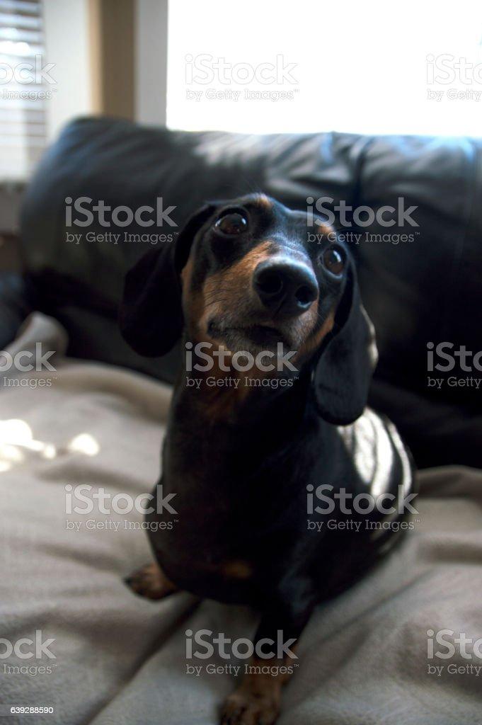 Dachshund weiner dog puppy sitting on a beige blanket stock photo