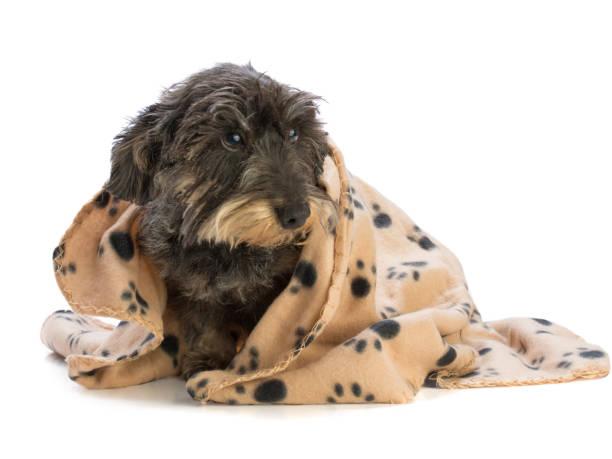 Dackel mit Decke – Foto
