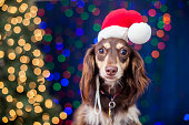 Dachshund with Santa Hat and Christmas Lights