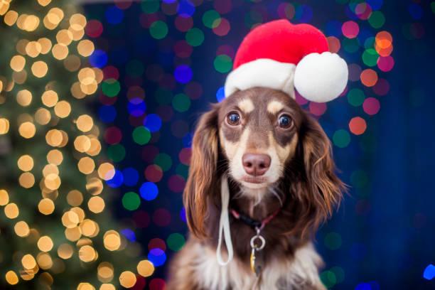 Dachshund with santa hat and christmas lights picture id1049938600?b=1&k=6&m=1049938600&s=612x612&w=0&h= 6sks50kpn7ssmi98 qlyfxjz8eqvmoexejf3twodbm=