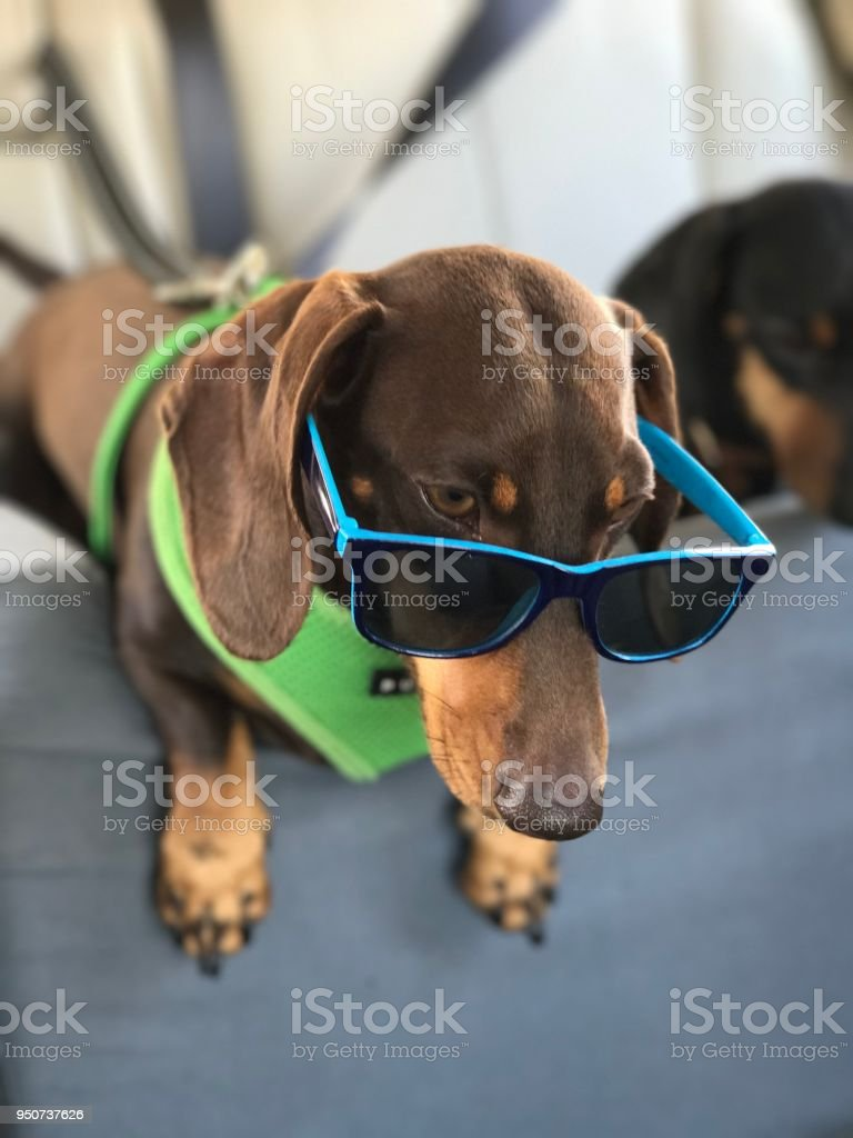 Dachshund with Sunglasses stock photo
