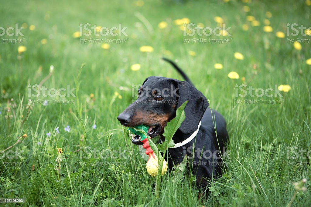 Dachshund with toy in grass stock photo