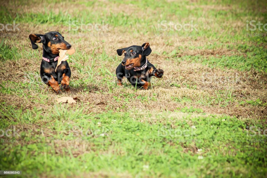 Dachshunds Running stock photo