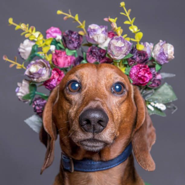 Dachsund dog in a flower crown portrait square format picture id999154088?b=1&k=6&m=999154088&s=612x612&w=0&h=udqbyi m bwed4ezcvfdyk8gb9xvnhbj m o kyfscg=