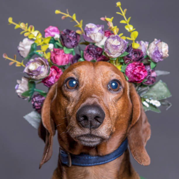 Dachsund dog in a flower crown, portrait square format. stock photo