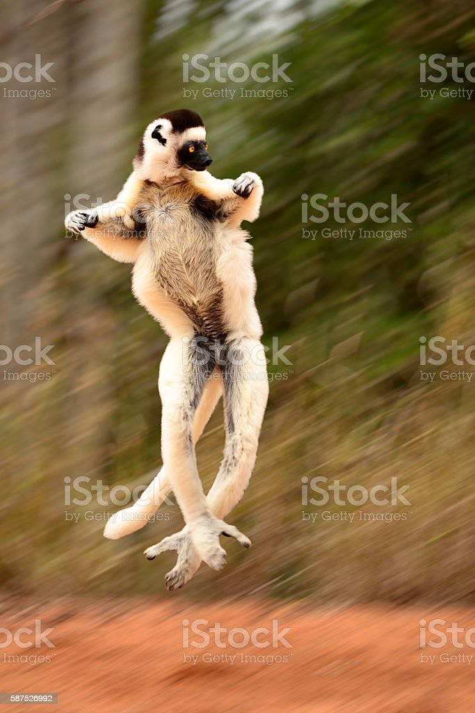 Dacing, levitating and jumping Sifaka, Propithecus verreauxi, lemur of Madagascar stock photo