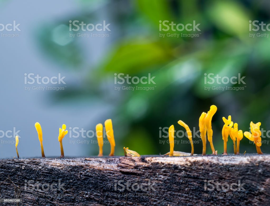 Dacryopinax spathularia,an edible jelly fungus stock photo