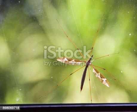 Daddy Long Legs against a window pane