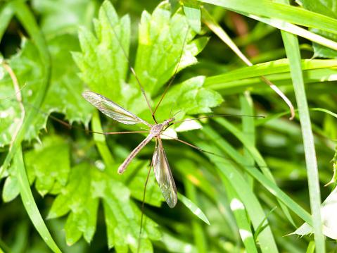 daddy long legs crane fly Tipulidae close up ; England; UK
