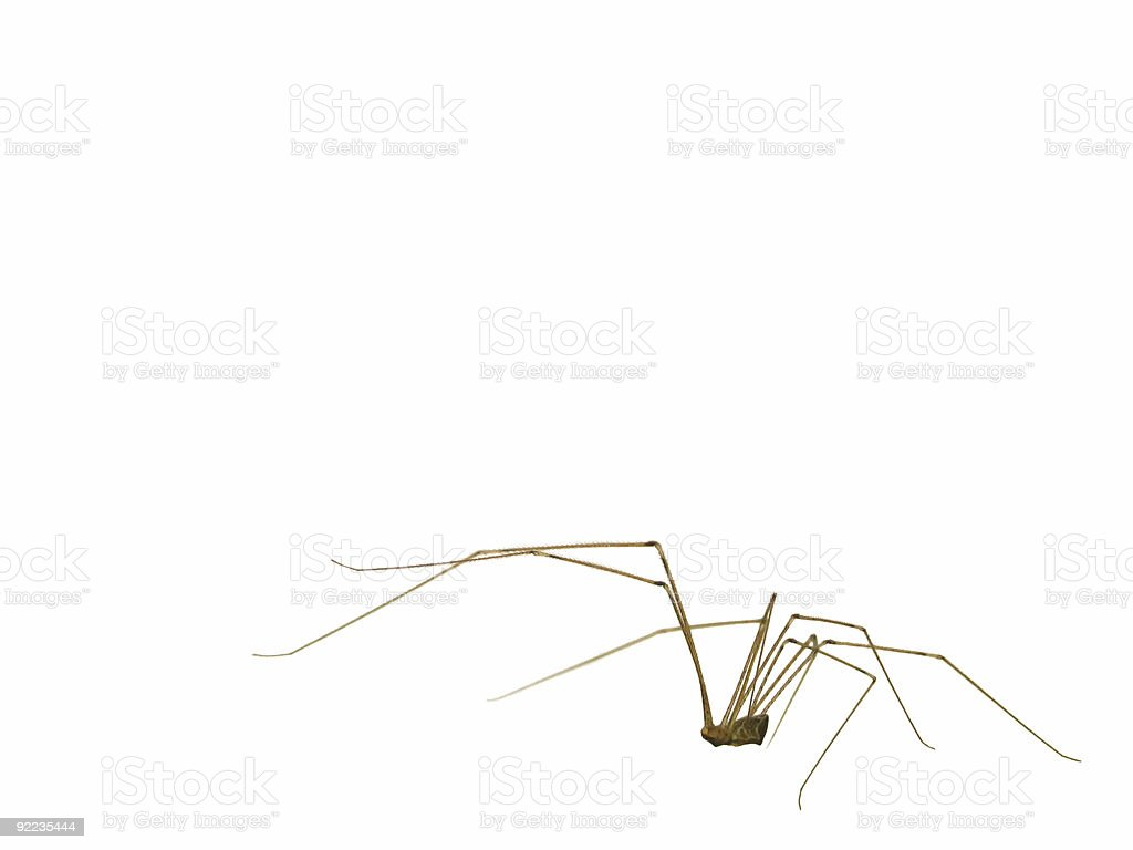 daddy long legs royalty-free stock photo