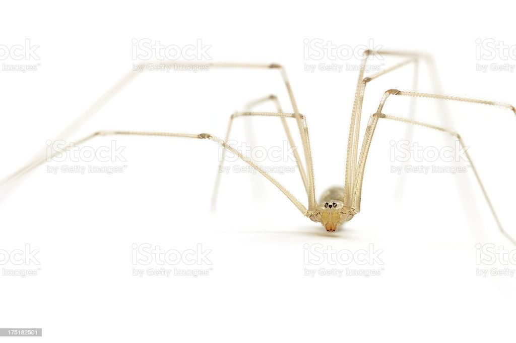 Daddy long legs spider (Pholcus phalangioides) close-up stock photo