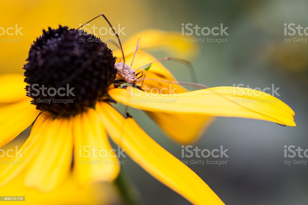 Daddy Long Legs Spider on Black Eyed Susan Flower stock photo