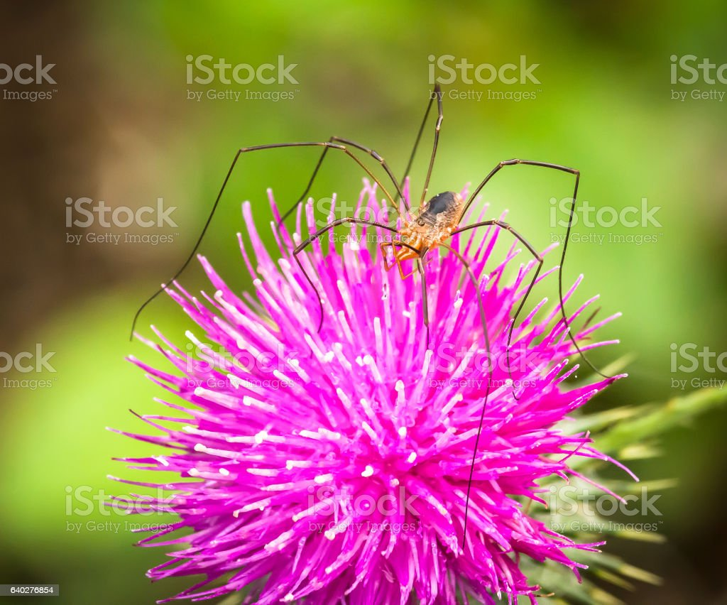 Daddy Long Legs spider on Thistle flower stock photo