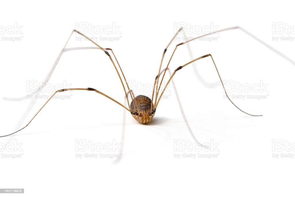 Daddy Long Legs Spider stock photo