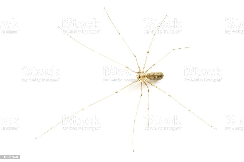 Daddy long legs spider (Pholcus phalangioides) stock photo