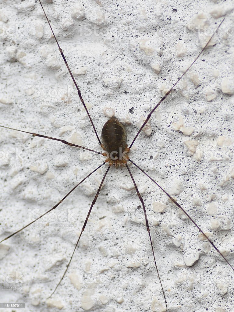 Daddy Long Legs Spider – Foto