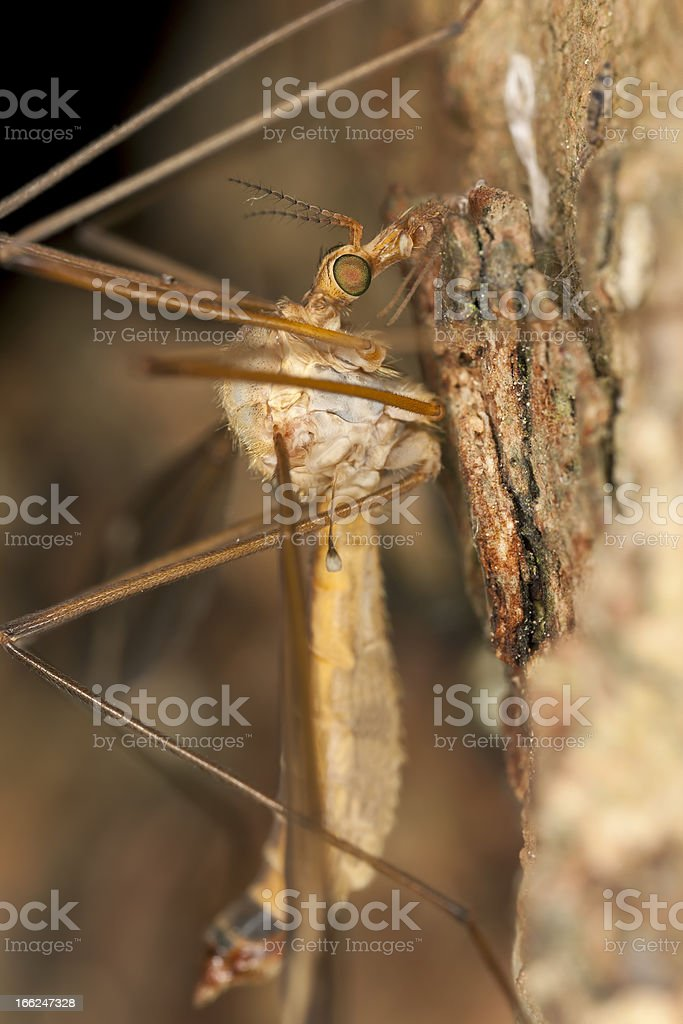 Daddy longlegs, extreme close-up royalty-free stock photo