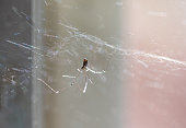 Daddy longlegs home spider with eight thin legs hanging from its cobweb in the corner.