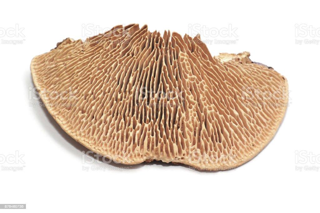 Daedalea quercina fungus stock photo
