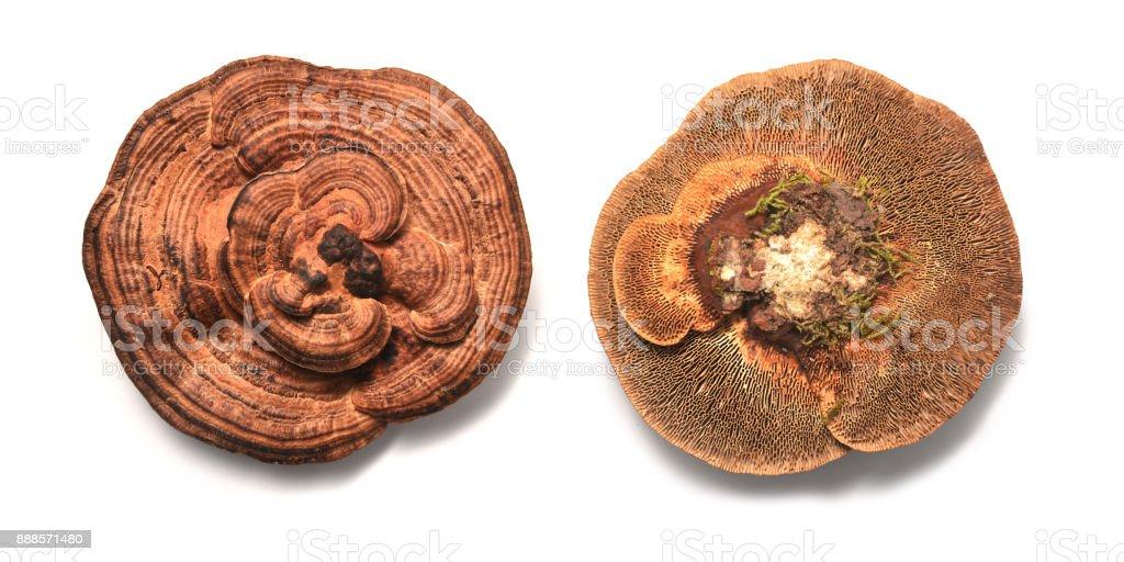 Daedaleopsis confragosa fungus stock photo