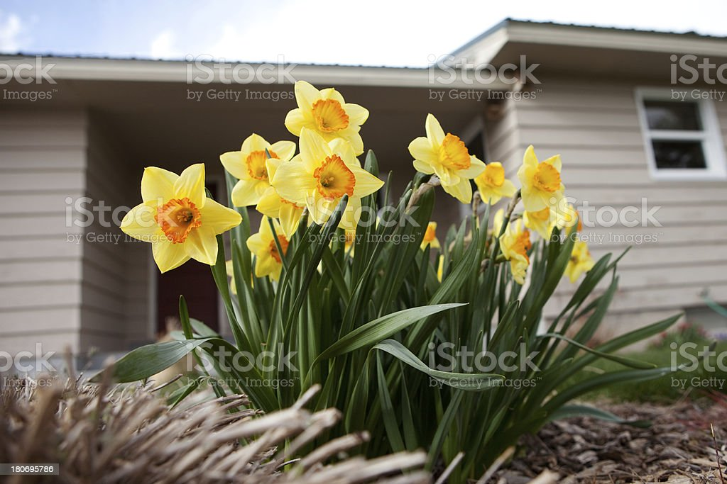 Daffodil and House royalty-free stock photo