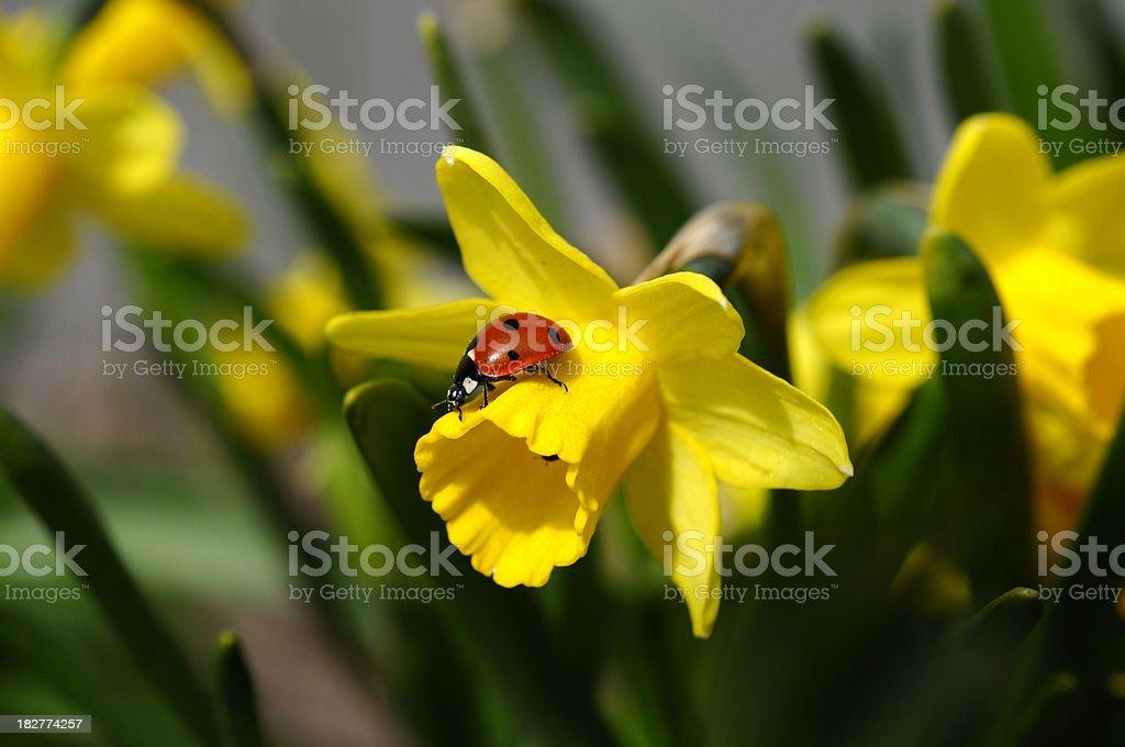 Daffodil and Ladybug, stock photo
