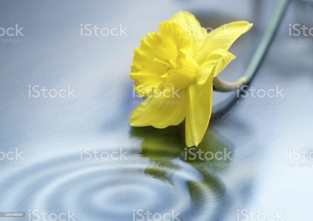Daffodil and Water royalty-free stock photo