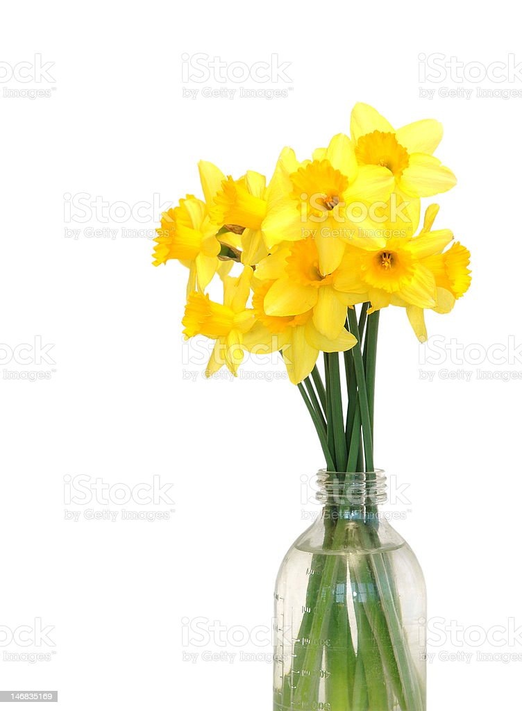 Daffodil Arrangement royalty-free stock photo