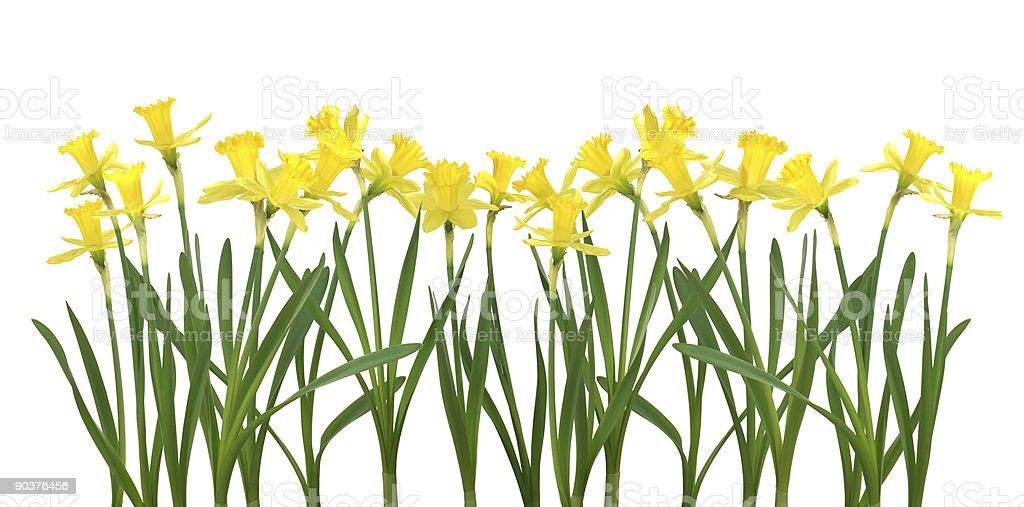 Daffodil banner - XXL High resolution file royalty-free stock photo