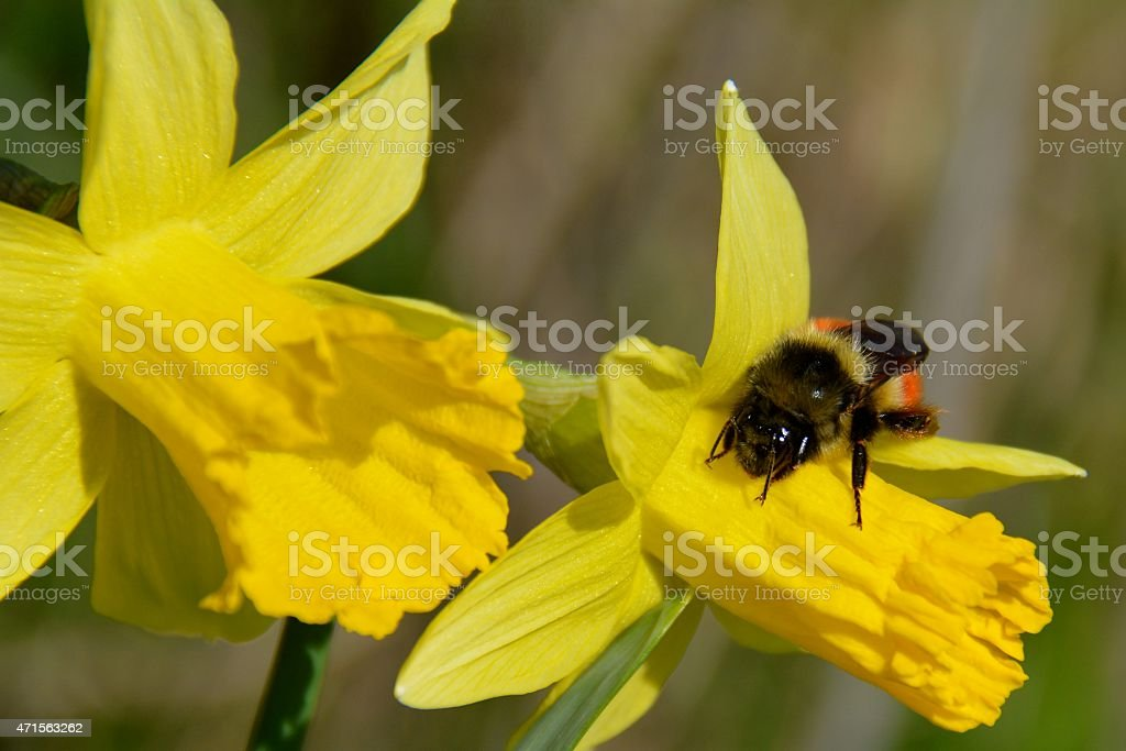 Daffodil Bee royalty-free stock photo