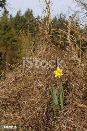 Brave daffodil blooming in pile of garden waste
