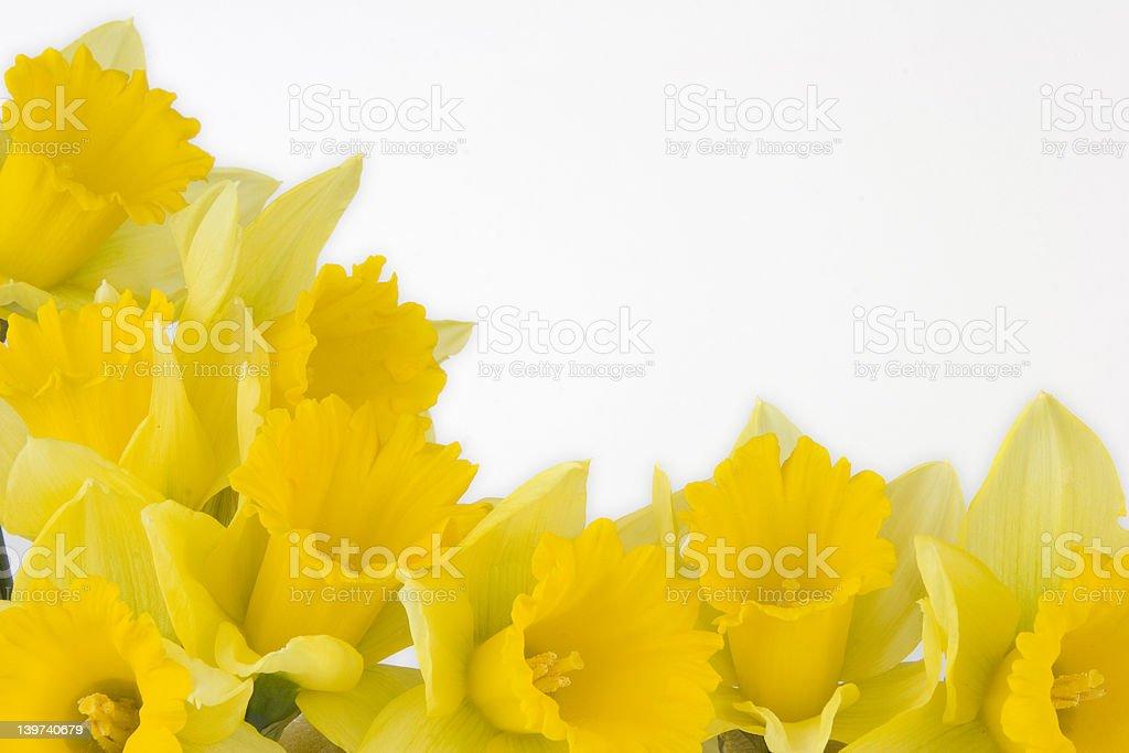 Daffodil border royalty-free stock photo