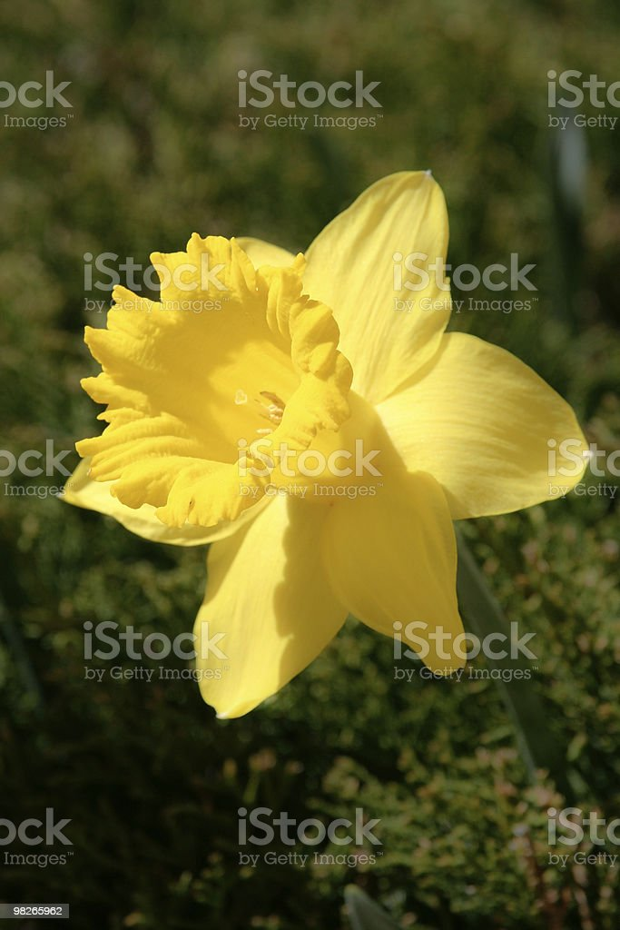 Daffodil close up royalty-free stock photo