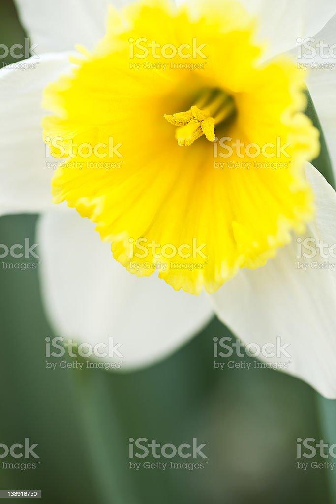 Daffodil Closeup royalty-free stock photo